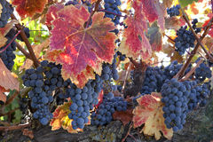 Red Wine Grapes on Vine Royalty Free Stock Photo