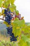 Red wine grapes on the vine Stock Photography