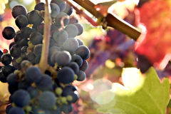 Red wine grapes on the vine in autumn. Landscape exterior Stock Photography