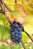 Red Wine Grapes on Vine Closeup Stock Photo