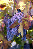 Red Wine Grapes on the Vine Royalty Free Stock Photos