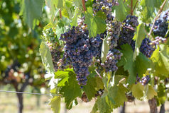 Red Wine Grapes on the Vine Royalty Free Stock Image