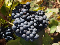 Red wine grapes on the vine Stock Photo