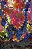 Red Wine Grapes on Vine. Red varietal wine grapes on vine, ripe for harvest, colorful red Autumn leaves Stock Images