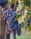Red Wine Grapes on Vines Stock Photo