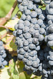 Red Wine Grapes in the Vineyard Royalty Free Stock Images