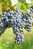Red Wine Grapes in the Vineyard Stock Photos