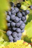 Red wine grapes on a vineyard Stock Images