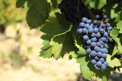 Red wine grapes vineyard copy space Royalty Free Stock Photography