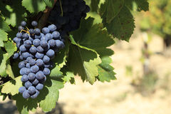 Red wine grapes vineyard France Stock Photo