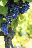 Red wine grapes vineyard. Royalty Free Stock Photo