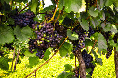 Red wine: Grapes in the vineyard before harvest in autumn Stock Images