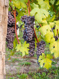 Red wine grapes on vineyard, vertical Stock Photos