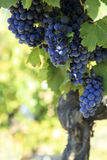 Red wine grapes vineyard vertical copy space Royalty Free Stock Photo