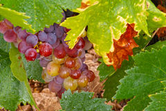 Red wine grapes with water droplets and green leaves1. Red wine grapes with water droplets and green leaves Royalty Free Stock Images