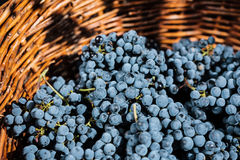 Red wine grapes. In wicker basket Royalty Free Stock Image