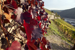 Red wine leaves Royalty Free Stock Photography