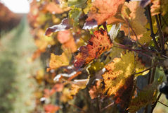 Red Wine Leaves Royalty Free Stock Image