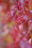 Red wine leaves. Focus on plant at center point Stock Photo