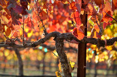 Red Wine Vine. Close up of a Red Grape Wine Vine in Napa Valley royalty free stock photo