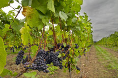 Red Wine Vineyard Stock Photo