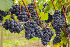 Red Wine Vineyard 4 Stock Image