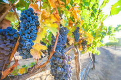 Red wine wine growing. In South Africa Stock Photo