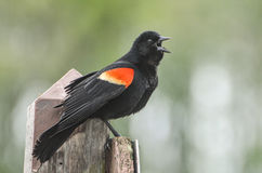 Red wing black bird singing. A male Red winged Blackbird  standing on a pole singing his spring song Stock Image