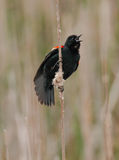 Red Wing Black Bird. Singing on reeds Royalty Free Stock Photos