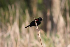 Red Wing Black Bird. Sitting all alone Royalty Free Stock Photography