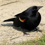 Red wing blackbird Stock Photography