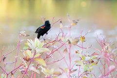 Red wing blackbird agelaius phoeniceus singing on a tree royalty free stock photo