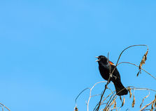 Red Wing Blackbird. On a branch Stock Image
