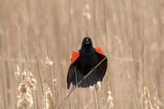Red wing blackbird. Calls among the reeds Royalty Free Stock Photo