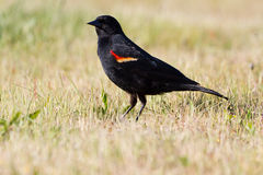 Red wing blackbird Stock Images