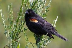 Red wing blackbird Stock Photos