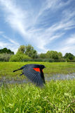 Red Wing Blackbird in Flight Stock Image
