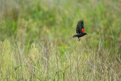 Red wing blackbird in flight. Green field summer Stock Photo