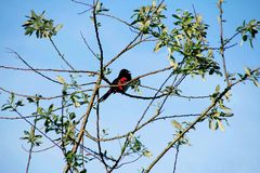 Red Wing Blackbird. A Red Wing Blackbird greets the morning Stock Photo