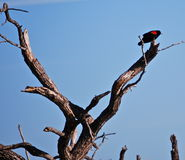 Red wing blackbird. On his perch Stock Image