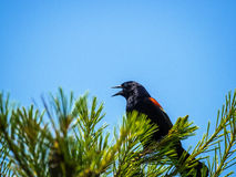 Red Wing Blackbird. A male red wing blackbird calling atop a pine tree Royalty Free Stock Photography