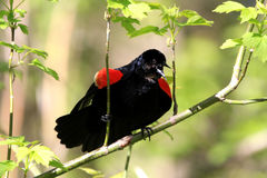 Red-wing Blackbird male. Displaying in early spring Royalty Free Stock Photography