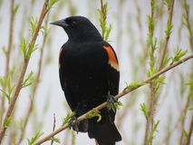 Red Wing Blackbird Royalty Free Stock Photography