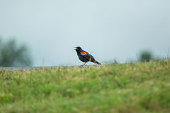 Red wing blackbird singing for mate. On walk path near green grass royalty free stock photo