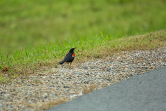 Red wing blackbird singing for mate. On walk path near green grass royalty free stock photography