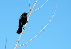 Red Wing Blackbird. Red Winged Blackbird on a branch Royalty Free Stock Photography