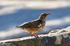 Red wing thrush Stock Images
