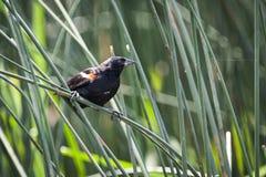 Red-winged αρσενικό κοτσύφων, που σκαρφαλώνει στον κάλαμο στοκ εικόνα