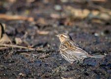 Red-winged θηλυκό phoeniceus κοτσύφων †«Agelaius Στοκ φωτογραφία με δικαίωμα ελεύθερης χρήσης