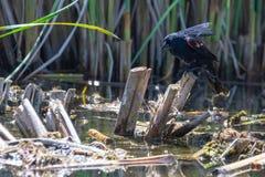 Red-Winged κότσυφας που παίρνει το λουτρό πουλιών Στοκ Εικόνα